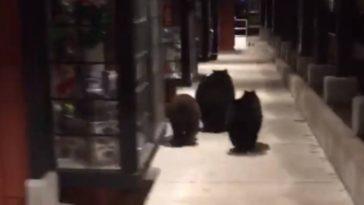 ursos EUA