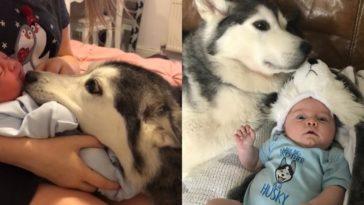 feedclub huskies bebê