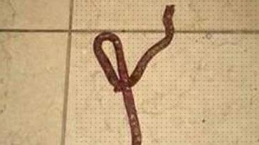 confundiu linguiça com cobra