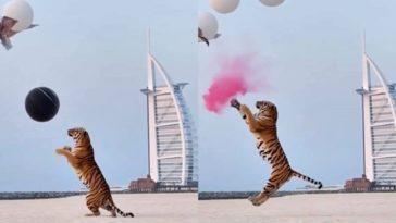 Chá Revelação tigre Dubai